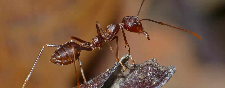 Los primeros insectos sociales transgénicos...