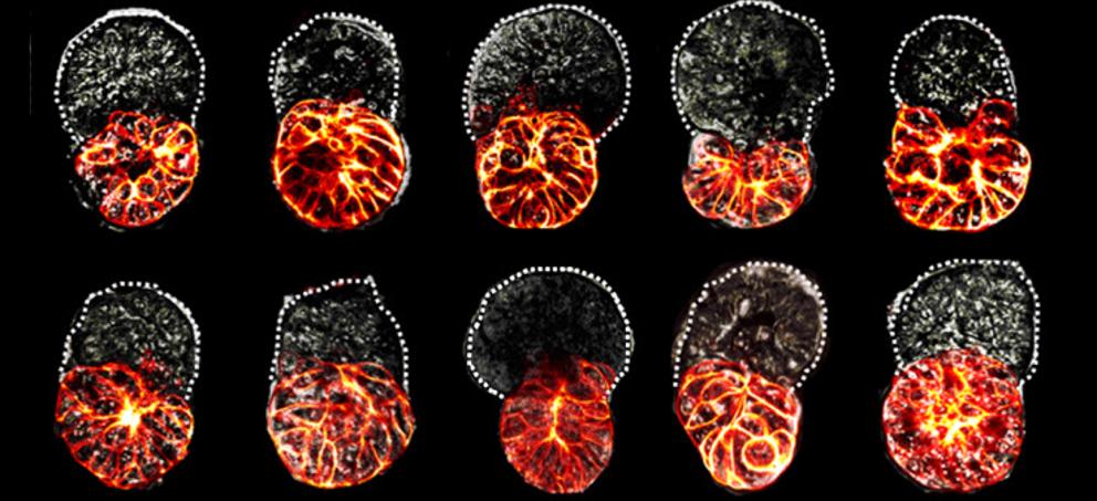 Crean por primera vez un embrión de laboratorio con células madre...