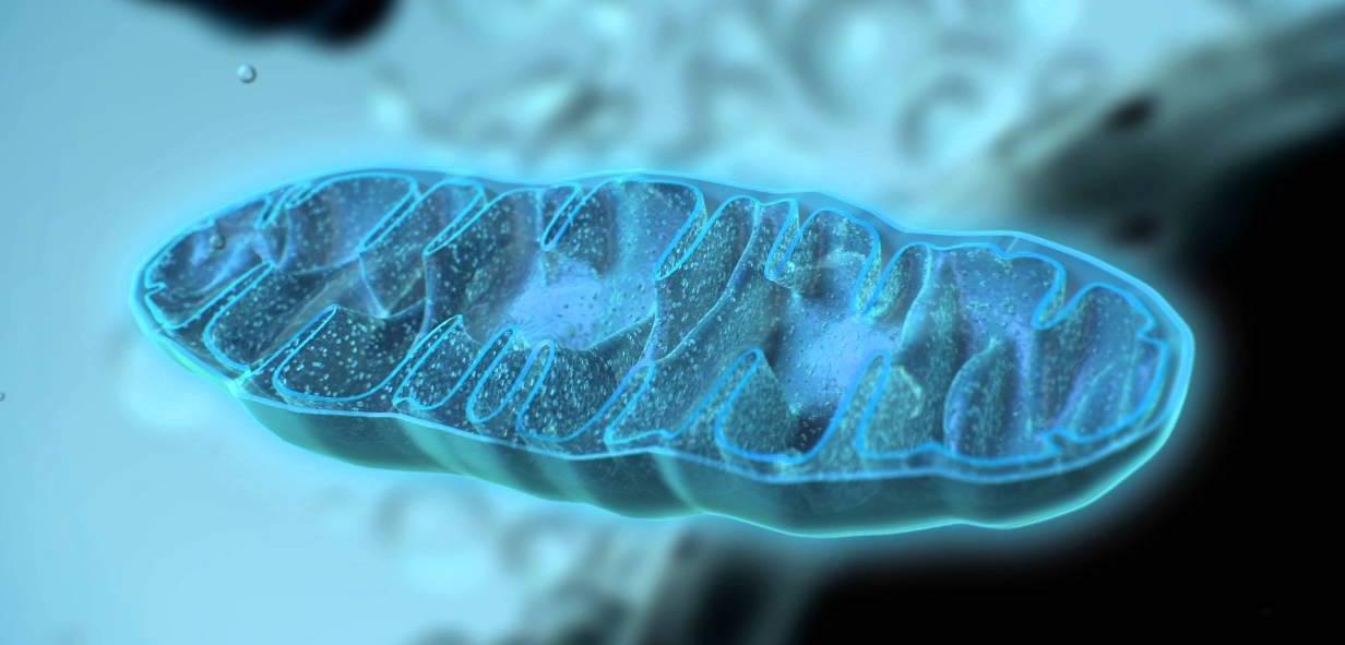 Mitocondrias, fundamentales para un envejecimiento saludable...