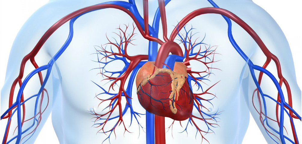 IL11 is a crucial determinant of cardiovascular fibrosis...