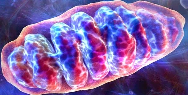 El ADN mitocondrial puede ser el causante de las enfermedades autoinmunes...