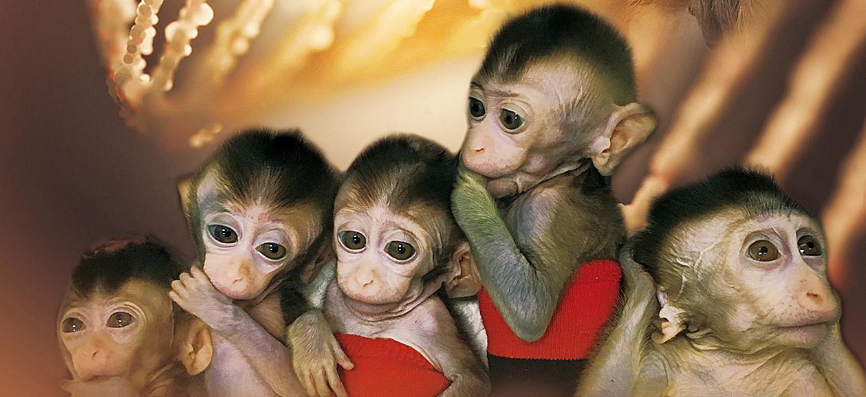 Clones de monos editados con CRISPR: hacia la réplica perfecta de la enfermedad...