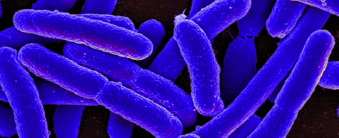 Identificada una bacteria intestinal que alarga la vida...