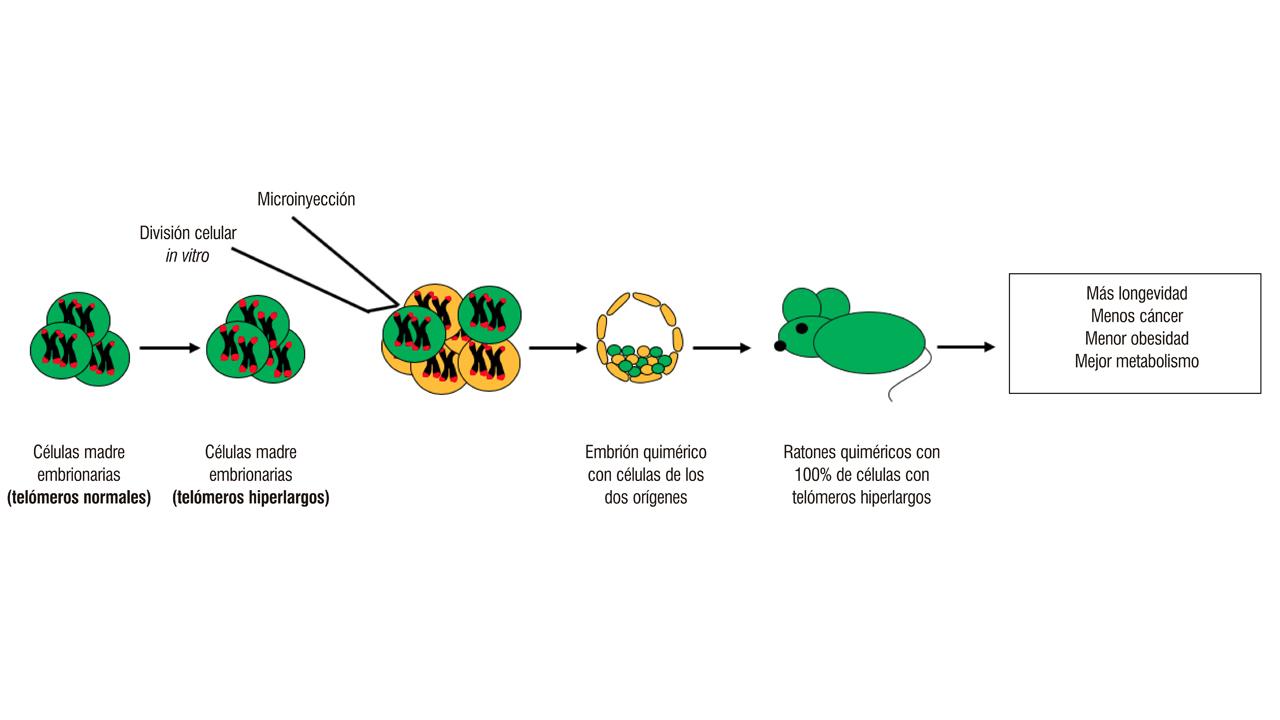 Ratones más longevos sin modificación genética...