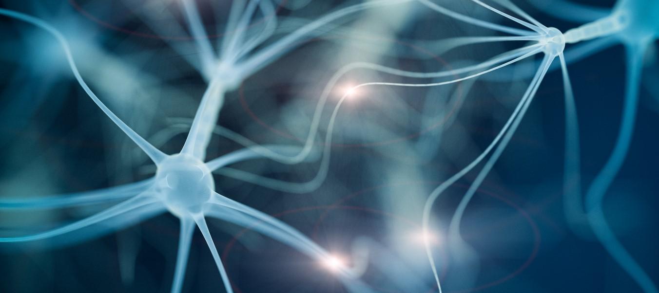 Identifican un nicho de células madre neurales...